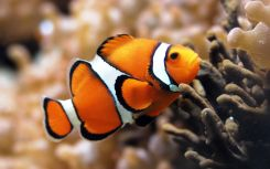 Desktop-free-download-clown-fish-wallpapers-HD